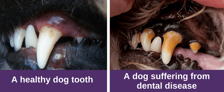A healthy dog tooth (4)