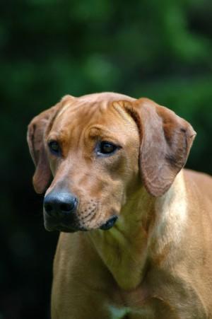 caninsulin-dog