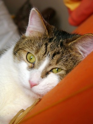 fortekor-cat