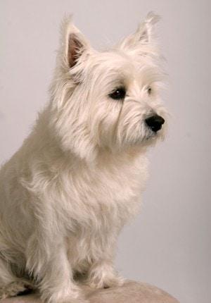 optimmune-dog