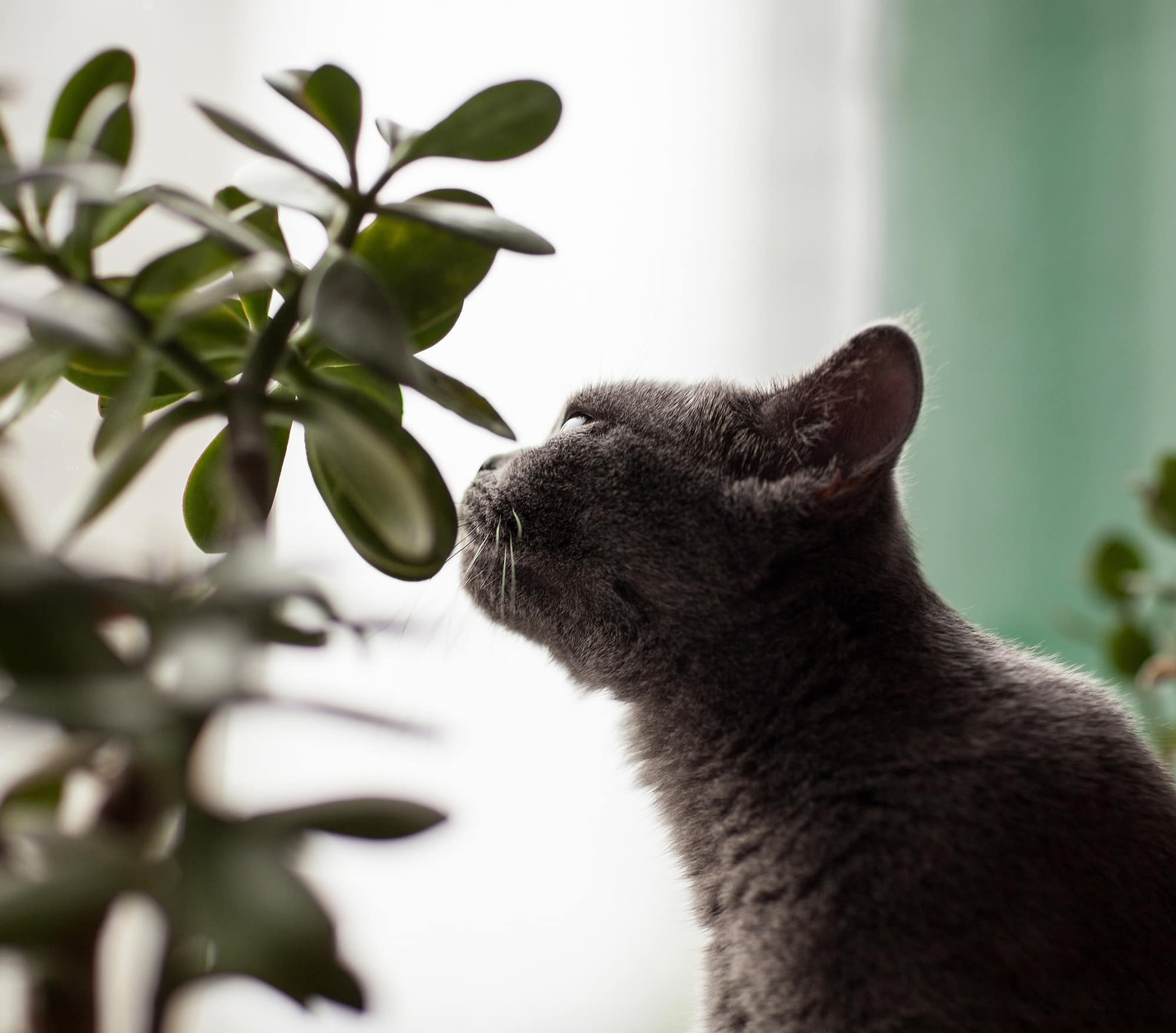 Prevention And Management Of Plant Poisoning In Cats The Healthy Pet Club