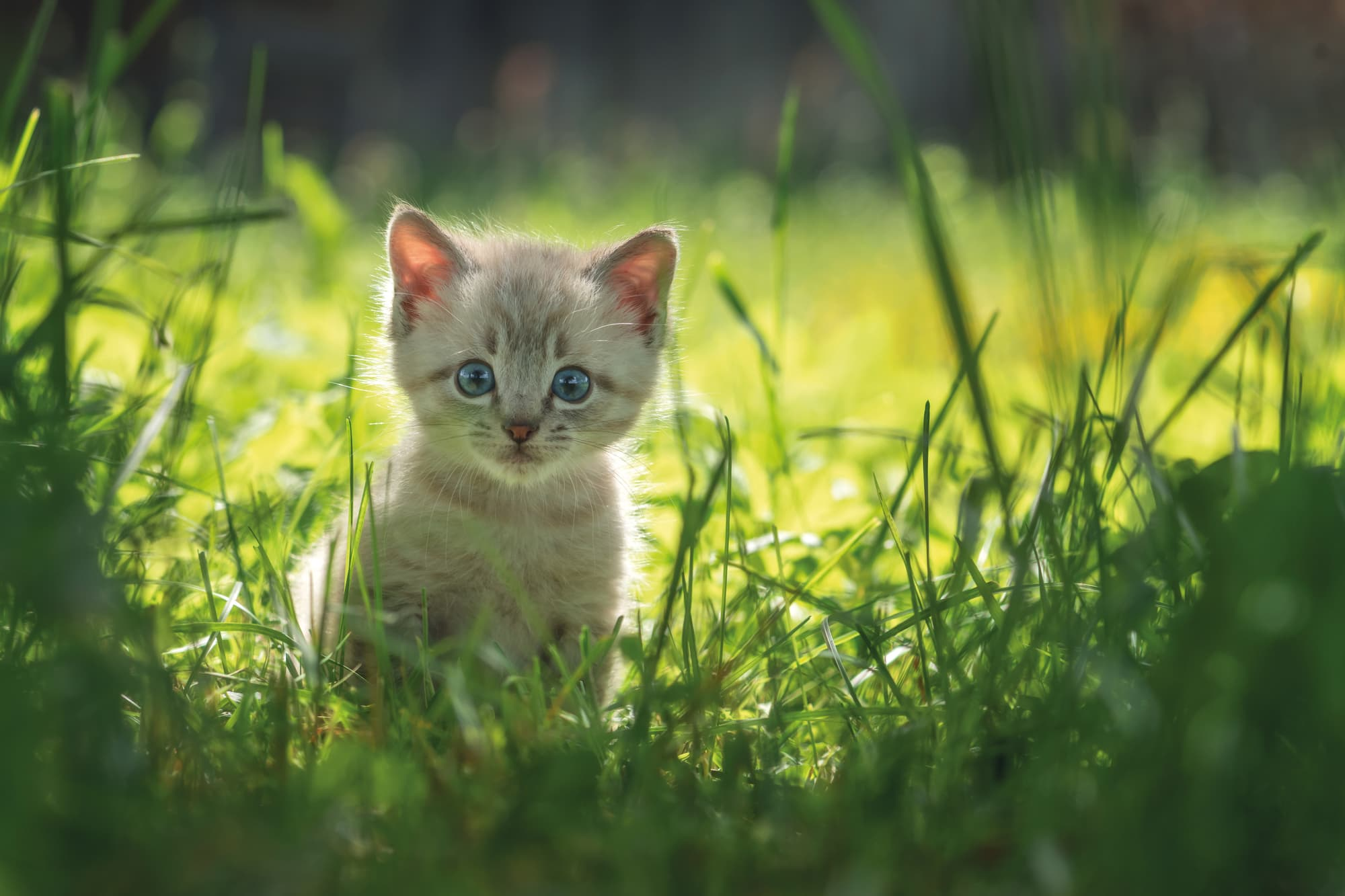 Letting Your Kitten Outside For The First Time The Healthy Pet Club