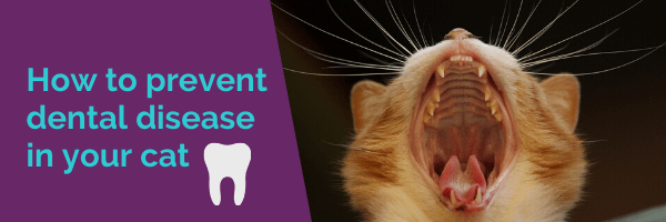How to prevent dental disease in your cat
