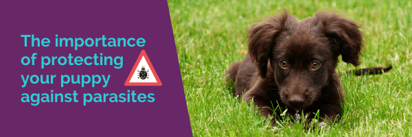The importance of protecting your puppy against parasites