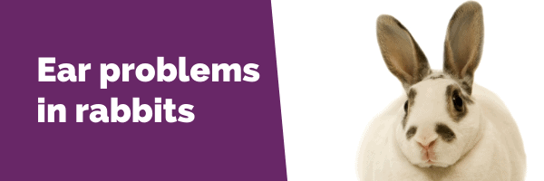 Ear problems in rabbits